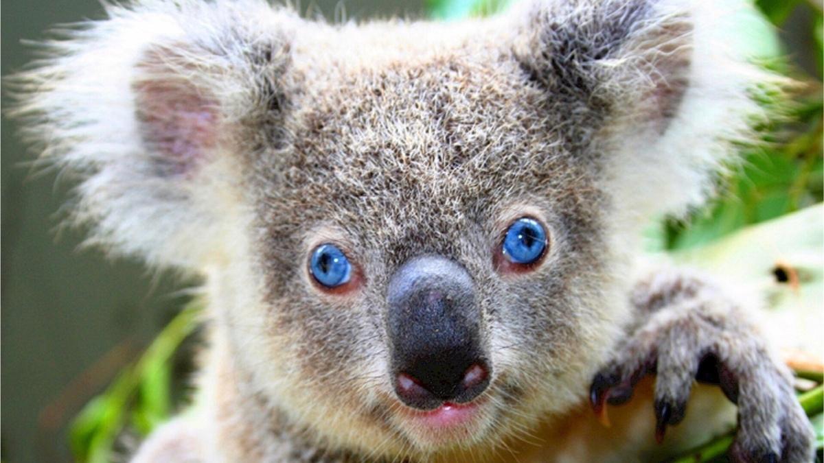 Damn, Koalas Are Dumb AsHell!